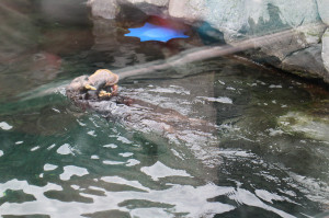 Rescue sea otters