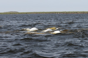 Beluga whales waiting for their mornings entertainment
