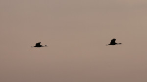 Early morning cranes