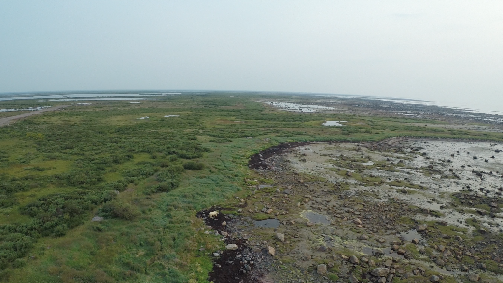 Spot the polar bear - aerial shot from my husband's quadcopter